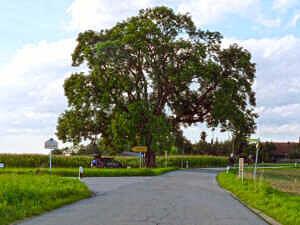 Baum bei Ingelsberg