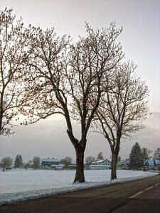 Straßenbäume bei Zorneding